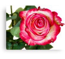 White pink rose Canvas Print