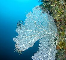 Sea fan  by Stephen Colquitt