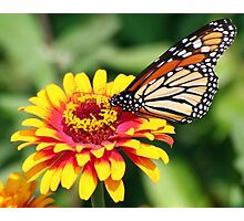 Monarch Beauty: Wings Folded Photographic Print