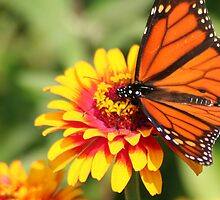 Monarch Beauty: Wings Spread by Laurel Talabere