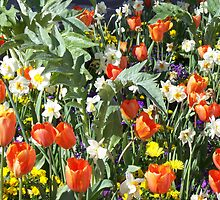 Bed of tulips by daffodil