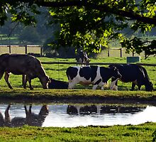 Cows grazing at Pasture by henick