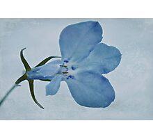 Blue Lobelia Macro Photographic Print