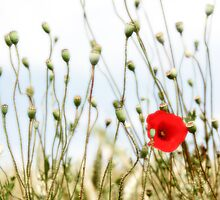 Poppy in field in France by Colin Leal
