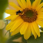 Sunflower and the Bee by Austin Walsh