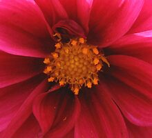 Red Pink flower Chrysanthium by CazzP