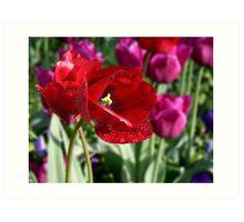 Red Tulip Tear Drops Art Print