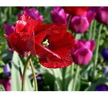 Red Tulip Tear Drops Photographic Print