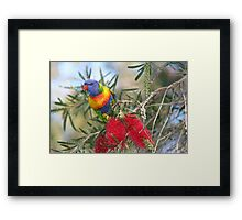 ROSELLA ON BOTTLEBRUSH TREE Framed Print