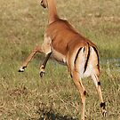 Impala, Moremi Game Reserve, Botswana, Africa by Adrian Paul