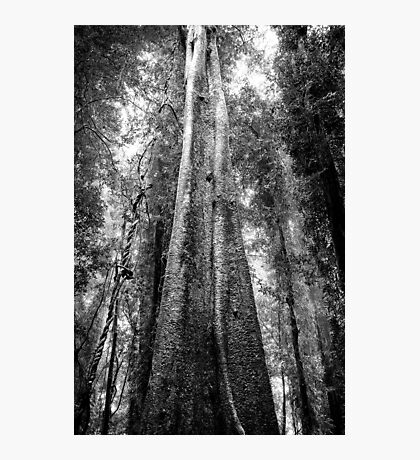 Tallest Tree in the Forest - Look Up! Photographic Print