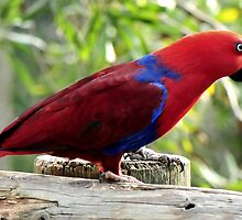 Eclectus Parrot by Tom Newman