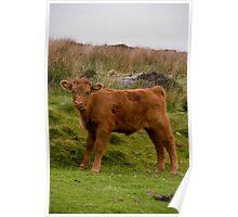 A Peak District Calf Poster