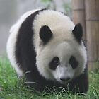 Chengdu Panda by James Godber