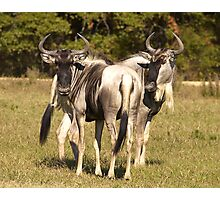 Blue Wildebeest Photographic Print