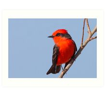 Vermilion Flycatcher Art Print