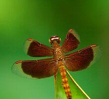 Dragonfly by Aussiebluey