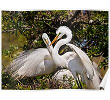 Egrets Build Nest Poster