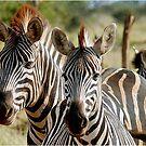 FOUR EYES WATCHING - BURCHELL'S ZEBRA – Equus burchelli – Bontkwagga by Magriet Meintjes