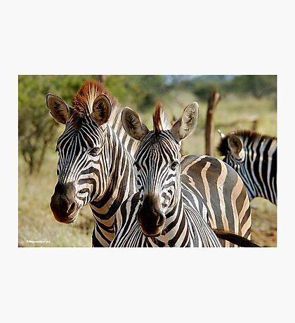 FOUR EYES WATCHING - BURCHELL'S ZEBRA – Equus burchelli – Bontkwagga Photographic Print
