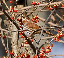 Foxy Sparrow by lloydsjourney