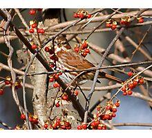 Foxy Sparrow Photographic Print