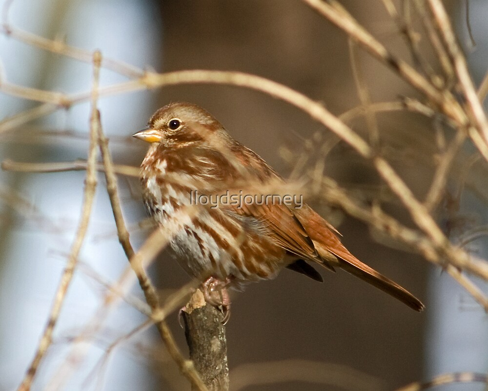 Fox Sparrow by lloydsjourney