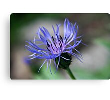 Cornflower Blue Purple Flower Canvas Print
