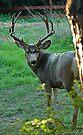 Colorado Mule Deer by Holly Werner