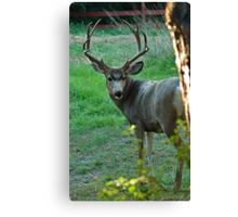 Colorado Mule Deer Canvas Print