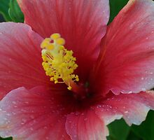 Hibiscus  by Shaina Lunde
