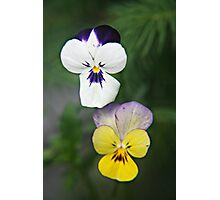 Violet Viola Pansy Flowers Photographic Print