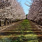 Blossoming Almond Trees by Barbara  Brown