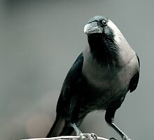 House Crow by Olivier Lance