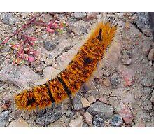 Fuzzy Caterpillar Photographic Print