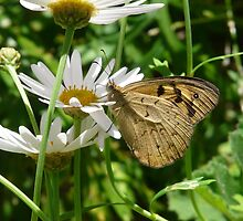 Butterfly drinking from Daisy by peterstreet