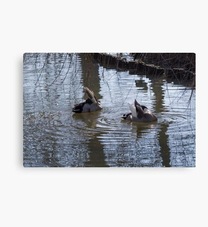 ducks are swimming in the lake Canvas Print