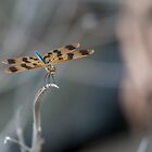 Dragonfly by 16images