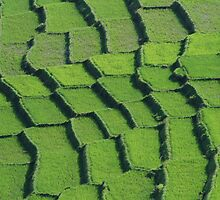 rice fields, flores indonesia by Peter  Middleton