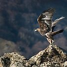Golden eagle Take-off by Mike Ashton