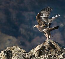 Golden eagle Take-off by Mike Ashton