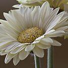 White Gerbera  by DIANE  FIFIELD