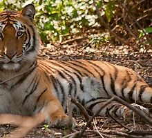 Bandhavgarh Tiger Safari at JungliCEO by jungliceo