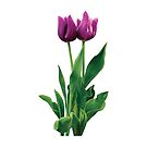 Two Purple Tulips by Susan Savad