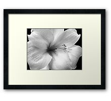 White Amaryllis Framed Print