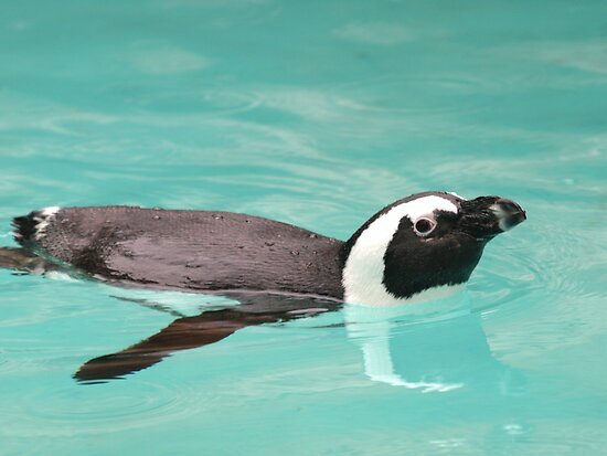 Young Penguin In Pool by Franco De Luca Calce