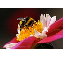 Bumble-Bee in the Spotlight Photographic Print