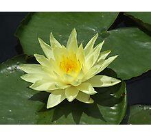 Yellow Waterlily Photographic Print
