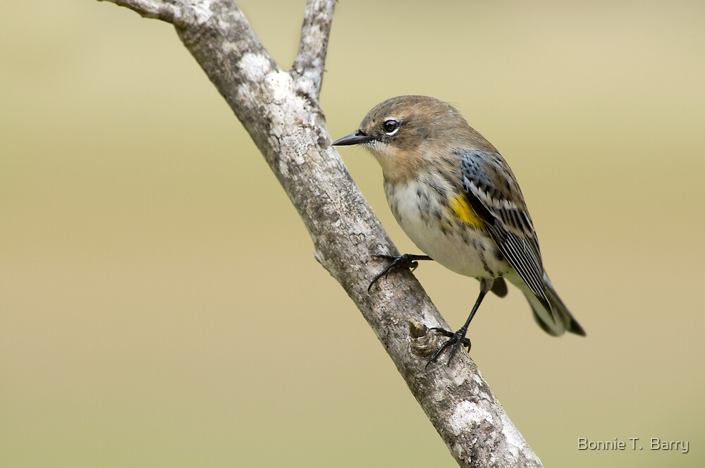 Little Warbler on a Limb by Bonnie T.  Barry
