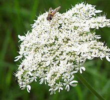 Hoverfly on white flowers by OurKev